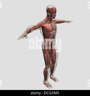 Anatomy of male muscular system, side view. - Stock Photo