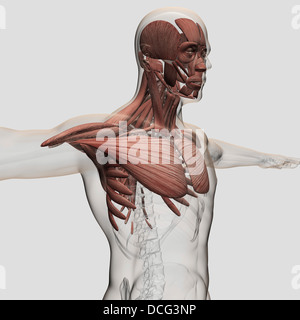 Anatomy of male muscles in upper body, anterior view. - Stock Photo