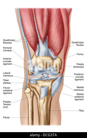 Anatomy of human knee joint. - Stock Photo