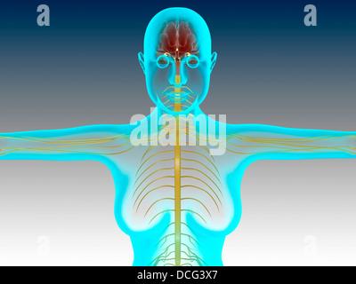 Conceptual image of female nervous system with brain. - Stock Photo