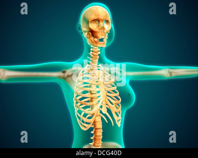 X-ray view of female upper body showing rib cage, spine and skull. - Stock Photo