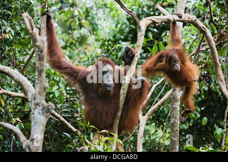 Female the orangutan with the kid in branches of trees - Stock Photo