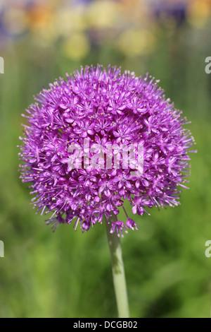 Flowering Allium - Stock Photo