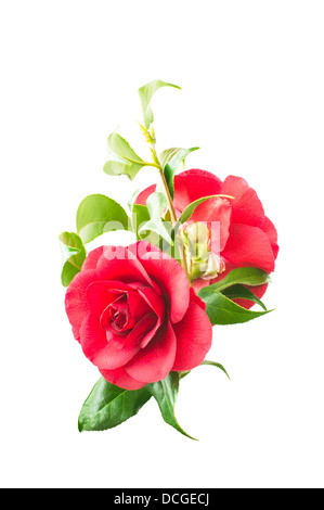 flowers of pink camellia isolated on a white background - Stock Photo