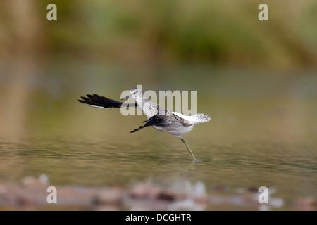 Greenshank, Tringa nebularia, single bird in flight, Warwickshire, August 2013 - Stock Photo