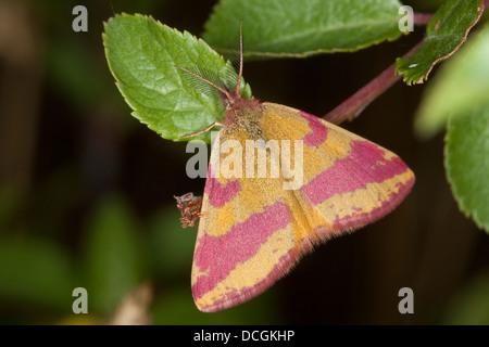 Purple-barred Yellow, Ampfer-Purpurspanner, Ampferpurpurspanner, Purpurspanner, Lythria cruentaria, Lythria rotaria, - Stock Photo