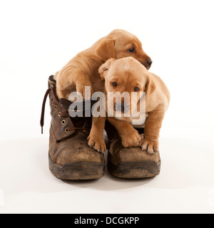 Two Labrador puppies in a pair of leather working boots - Stock Photo