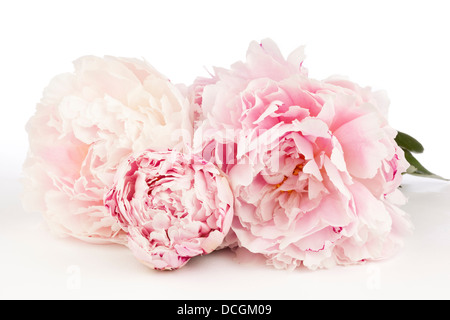 Three Peony Flowers on a white background - Stock Photo