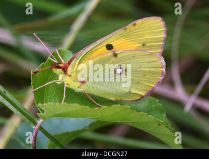 European Common or Dark Clouded Yellow butterfly (Colias croceus) - Stock Photo