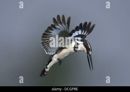 Pied Kingfisher hovering over a river in Southern Africa - Stock Photo