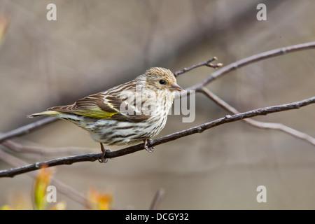 Pine Siskin, Spinus pinus - Stock Photo