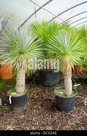 Yucca rostrata yucca stock photo royalty free image for Small garden trees for sale