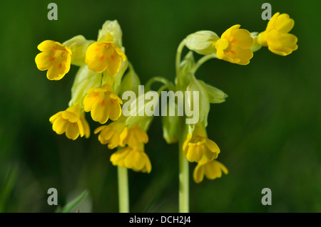 Two yellow cowslip flowers - Stock Photo
