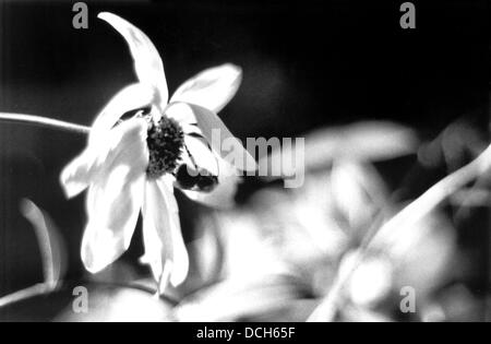 Bee pollinating flower, retro black and white photo - Stock Photo