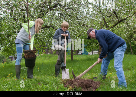 Apple, fruit-tree, tree plant, planting, Apfelbaum pflanzen, Obstbaum, Apfel, Obstplantage, Obstanbau, Obst, Malus - Stock Photo
