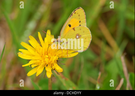 Male Clouded Yellow butterfly feeding on yellow flower - Stock Photo