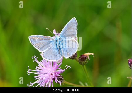 Male Common Blue butterfly feeding on knapweed flower - Stock Photo