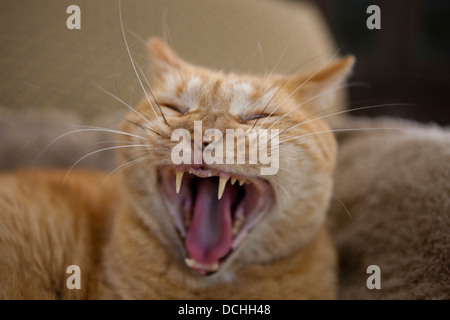 Portrait of an orange ginger domestic short hair Mackrel Tabby Cat (Felis cats) yawning and showing teeth. - Stock Photo