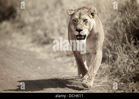 Female lion running. Serengeti National Park . Tanzania - Stock Photo
