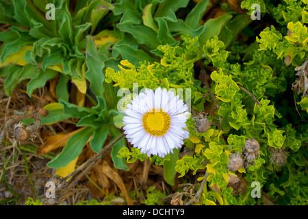 Seaside daisy (seaside fleabane), Erigeron glaucus, Asilomar state beach, Pacific Grove, Monterey Peninsula California