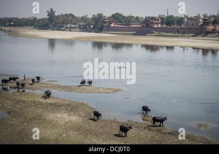 Itimad-ud-Daulah ( Baby Taj ) and sacred cows beside the Yamuna River, Agra, India - Stock Photo