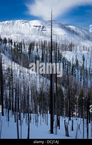 Hillside with burned in forest fire, in Oregon in winter - Stock Photo