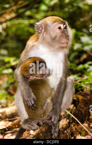 Mother and baby long tailed macaque monkeys in the forest - Stock Photo