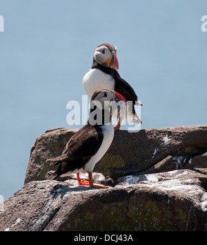 Puffins on rocks with sand eels in their beaks, Isle-of-May, Fife, Scotland, UK, Western Europe. - Stock Photo