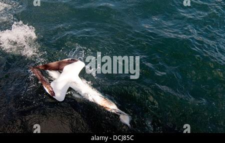 Gannet diving into the sea catching a fish, Bass Rock, Fife, Scotland, UK. - Stock Photo