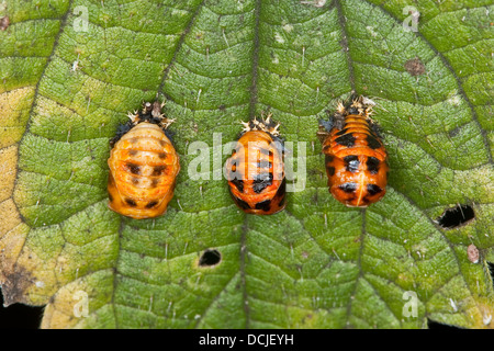 Asian lady beetle, Harlequin lady beetle, ladybird, ladybirds, Asiatischer Marienkäfer, Harlekin, Marienkäfer, Harmonia - Stock Photo
