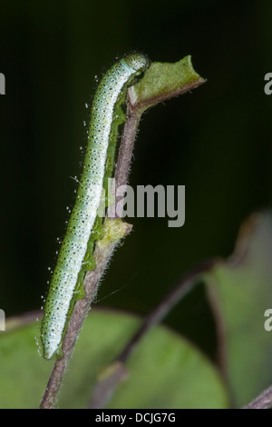 Orange Tip, orange-tip, caterpillar, Aurorafalter, Aurora-Falter, Raupe, Anthocharis cardamines - Stock Photo