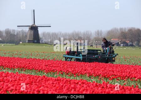 A farmer work on a tulip field in Holland