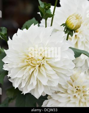 White Dahlia Flowers,Close Up Shot - Stock Photo