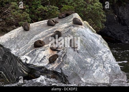 Nine New Zealand fur seals, Arctocephalus forsteri, rest on a rock in Milford Sound, New Zealand - Stock Photo