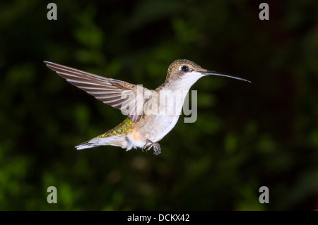 Female  ruby-throated hummingbird (Archilochus colubris) flying. - Stock Photo