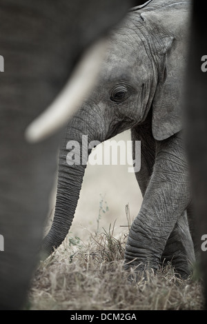 Young elephant calf with mother elephant. Tarangire National Park . Tanzania - Stock Photo