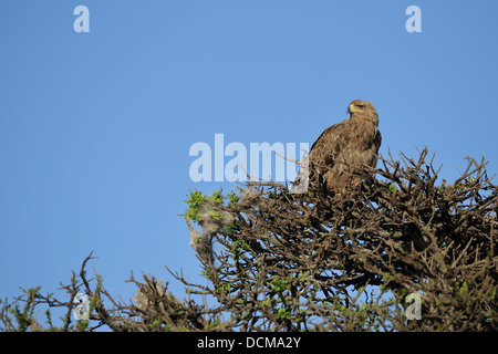 African tawny eagle (Aquila rapax) perched on the top of a tree Masai Mara Kenya - East Africa - Stock Photo