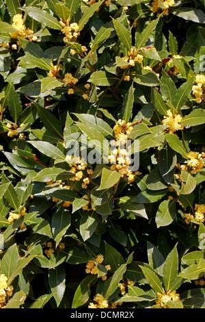 Bay Tree in Flower, Laurus Nobilis, Lauraceae.  Aka. Sweet Bay, True Laurel or Grecian Laurel - Stock Photo