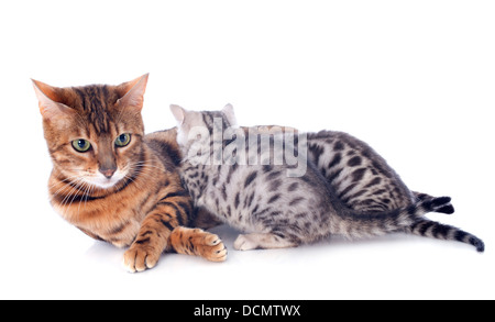 portrait of a purebred bengal cat and kitten on a white background - Stock Photo