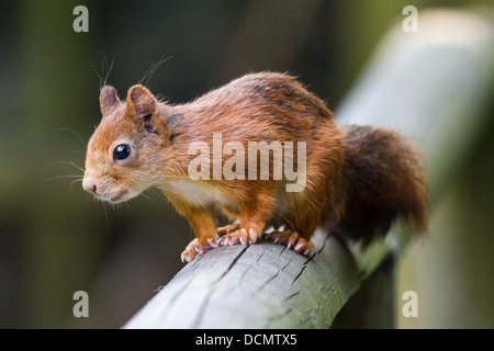 British Red Squirrel sitting on a hand rail - Stock Photo