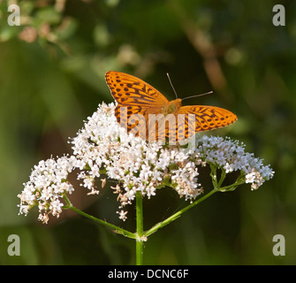 Silver Washed Fritillary Argynnis paphia male feeding on Common Valerian flower - Stock Photo
