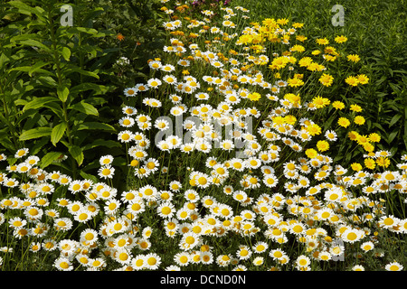Anthemis tinctoria 'Sauce Hollandaise' and yellow Doronicum flowers in a herbaceous garden border UK - Stock Photo