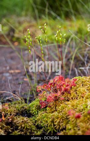 Round Leaved Sundew Drosera rotundifolia growing in a peaty bog mire at Thursley Common in Surrey UK