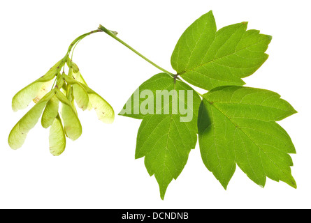 seeds and green leaves of ash tree isolated on white background - Stock Photo