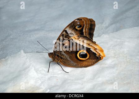 Owl butterfly (Caligo Memnon), Butterfly park (Mariposa de Benalmadena), Benalmadena, Spain, Western Europe. - Stock Photo