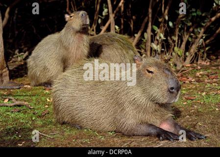 Brazil, Mato Grosso: Family of Capybaras (Hydrochoerus hydrochoerus) at the margin of Rio Mutúm in Northern Pantanal - Stock Photo