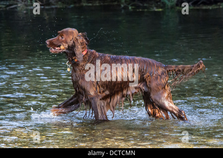 Irish setter playing in water in river with stick - Stock Photo