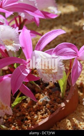 Windowsill Orchid or Taiwan Pleione, Pleione formosana, Orchidaceae. Syn. Pleione pricei, Pleione hui. Formosa, - Stock Photo