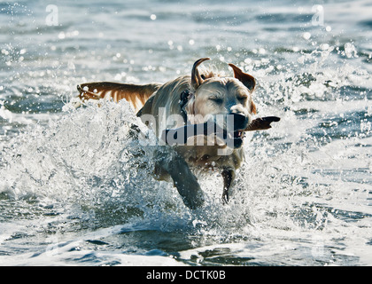 A Dog Fetching A Stick In The Water; Tarifa, Cadiz, Andalusia, Spain - Stock Photo