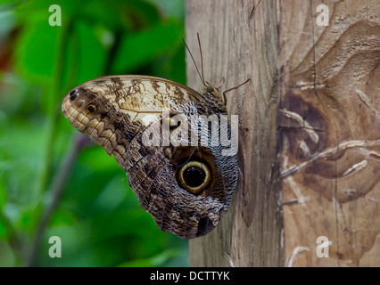Forest Giant Owl Butterfly - Stock Photo
